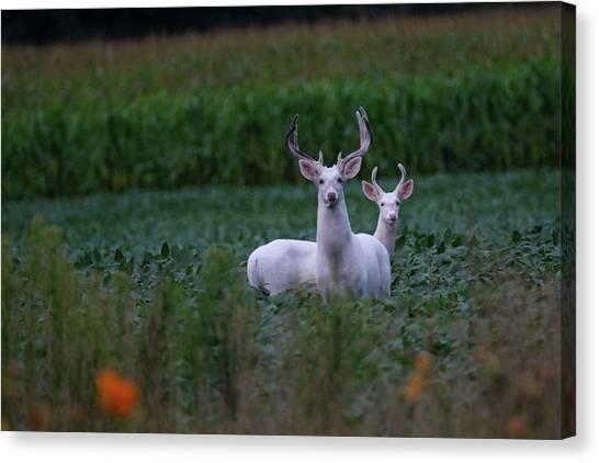 White Bucks Canvas Print