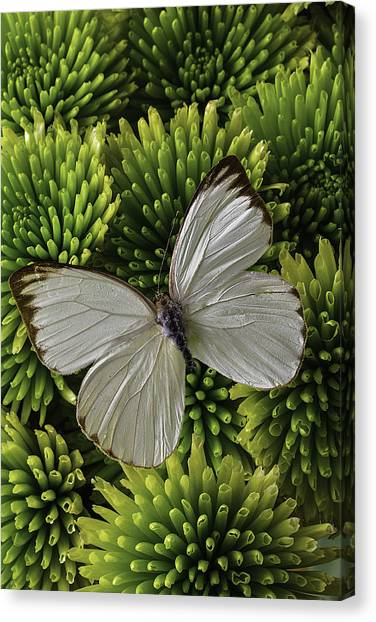 Pom-pom Canvas Print - White Butterfly On Green Poms by Garry Gay