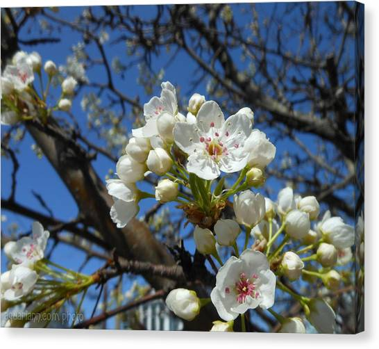 White Blossoms Blooming Canvas Print