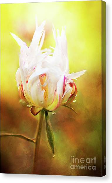 White Chinese Peony Laden With Raindrops Canvas Print