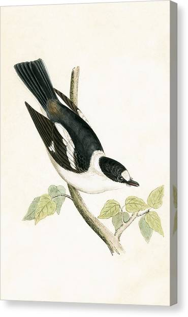 Flycatchers Canvas Print - White Collared Flycatcher by English School