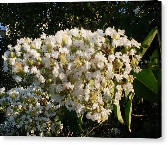 White Crape Myrtle Flower Canvas Print by Warren Thompson
