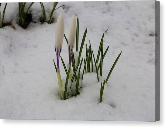 White Crocus In Snow Canvas Print