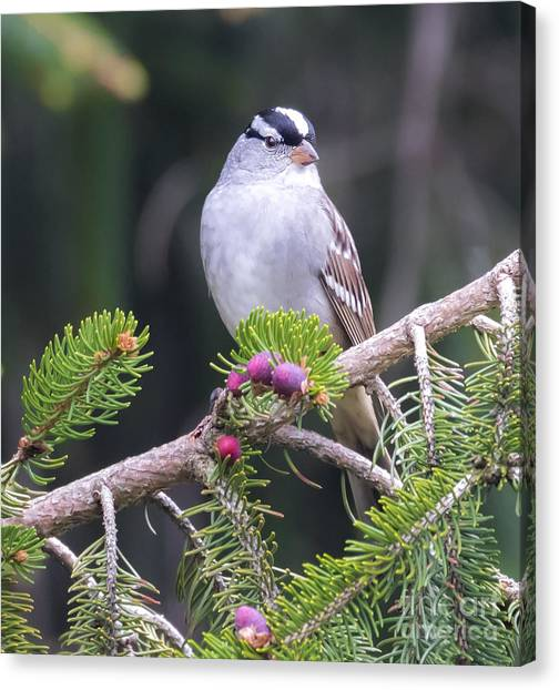 White-crowned Sparrow Canvas Print by Ricky L Jones