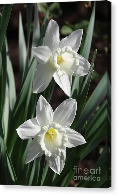 White Daffodils #2 Canvas Print