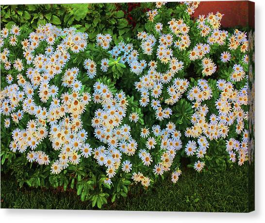 Canvas Print featuring the photograph White Daisy Bush by Roger Bester