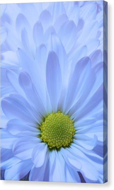 Canvas Print - White Daisy by Susan Heller