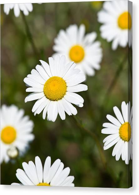 White Dasies Canvas Print by Edward Myers