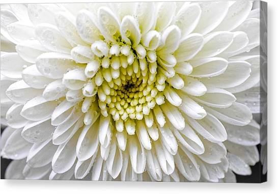 White Dew - Chrysanthemum Canvas Print