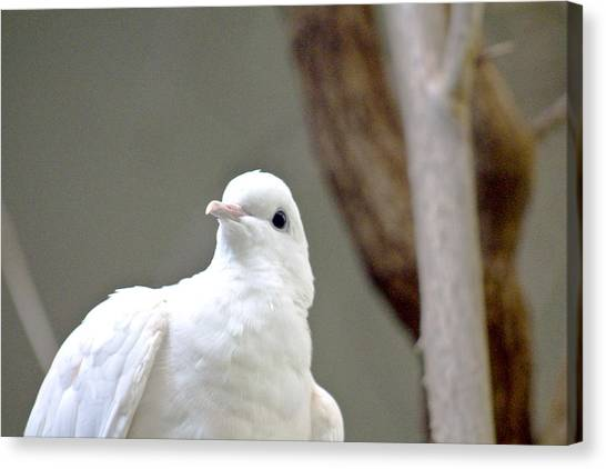 Foul Canvas Print - White Dove by Tom Handley