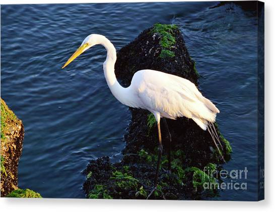 White Egret At Sunrise - Barnegat Bay Nj  Canvas Print
