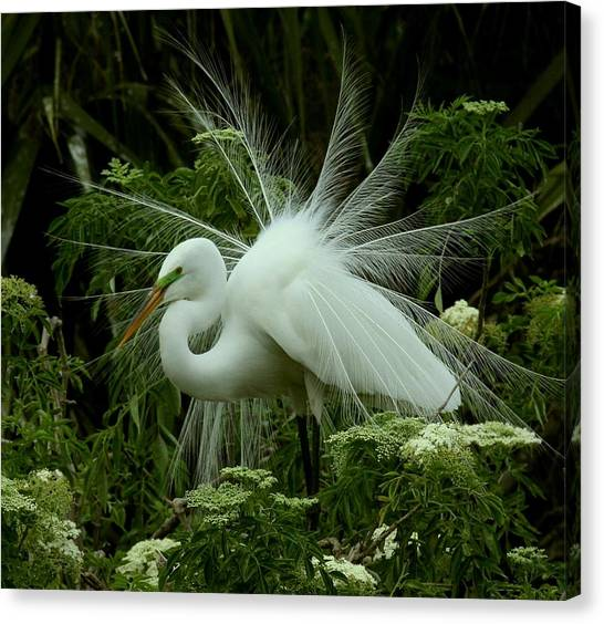 White Egret Displaying Canvas Print