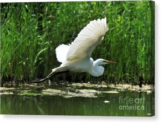 White Egret In Flight Canvas Print