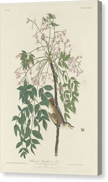 Flycatcher Canvas Print - White-eyed Flycatcher by Dreyer Wildlife Print Collections
