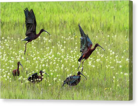 Canvas Print featuring the photograph White-faced Ibis Rising, No. 1 by Belinda Greb