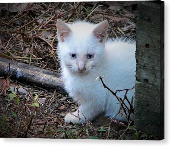 White Feral Kitten Canvas Print