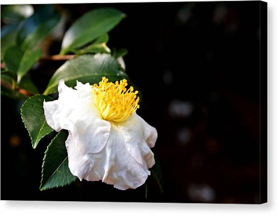 White Flower-so Silky And White Canvas Print