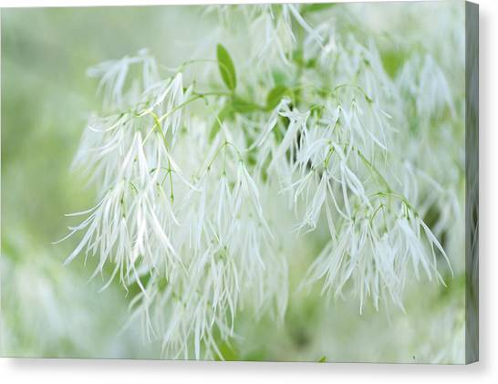 White Fringetree Canvas Print
