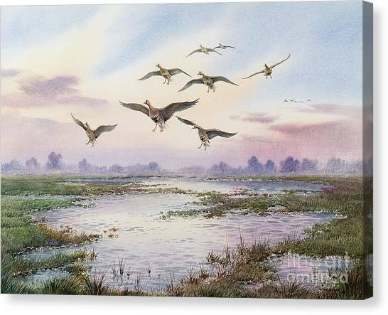 Marsh Grass Canvas Print - White-fronted Geese Alighting by Carl Donner