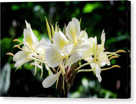White Hawaiian Flowers Canvas Print