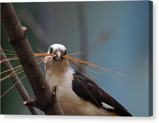 White-headed Buffalo Weaver Canvas Print