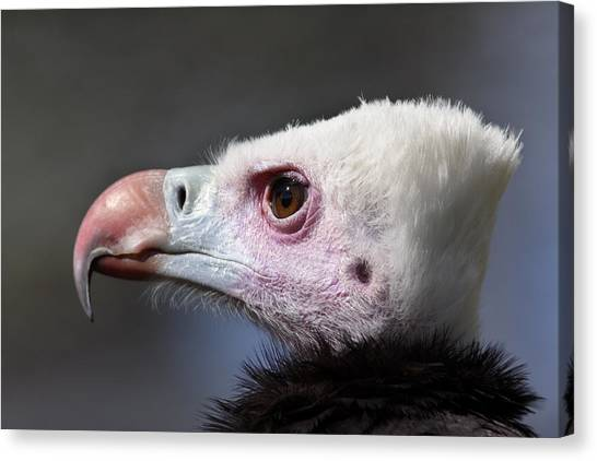 White-headed Vulture Portrait Canvas Print