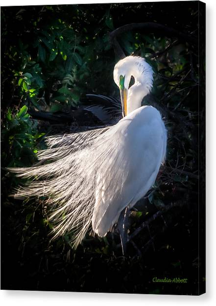 Egret In Wedding Feathers Canvas Print