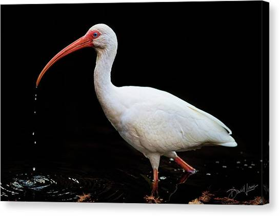 White Ibis Dripping Canvas Print