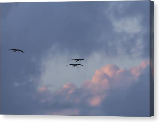 White Ibis In Flight At Sunset Canvas Print