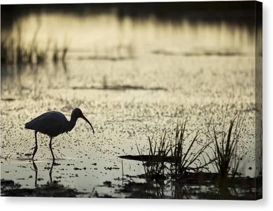 Ibis Canvas Print - White Ibis Morning Hunt by Dustin K Ryan