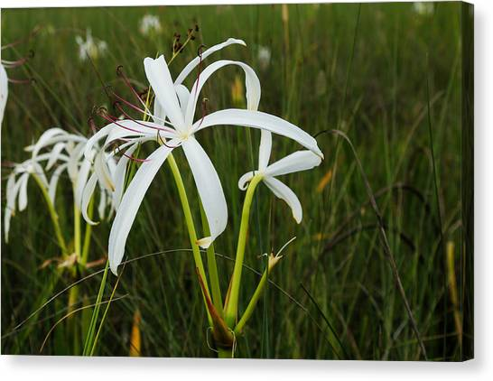 White Lilies In Bloom Canvas Print