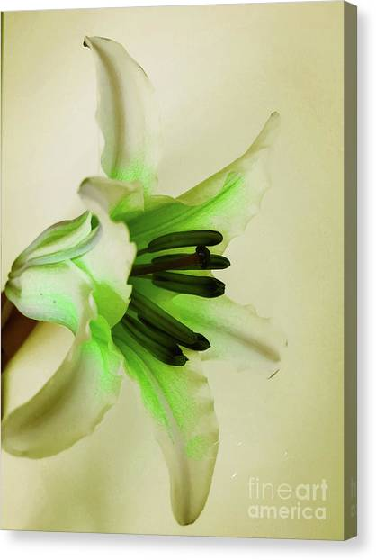 White Lily Canvas Print