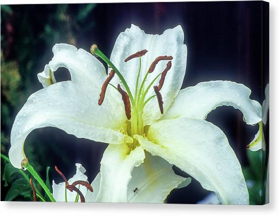 Canvas Print featuring the photograph White Lily by John Brink