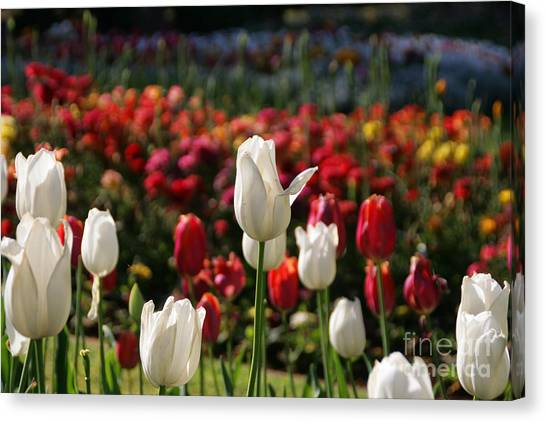 White Lit Tulips Canvas Print