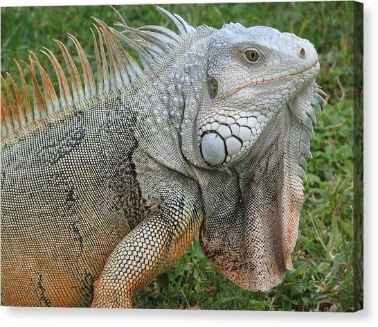 White Lizard Canvas Print