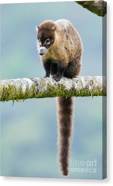 Costa Rican Canvas Print - White-nosed Coati by B.G. Thomson