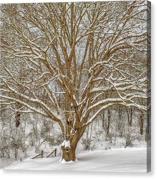 White Oak In Snow Canvas Print