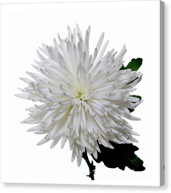 White On White Canvas Print by Peter Dorrell