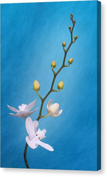 Bloom Canvas Print - White Orchid Buds On Blue by Tom Mc Nemar