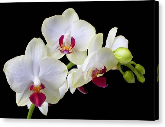 White Orchid Canvas Print - White Orchids by Garry Gay