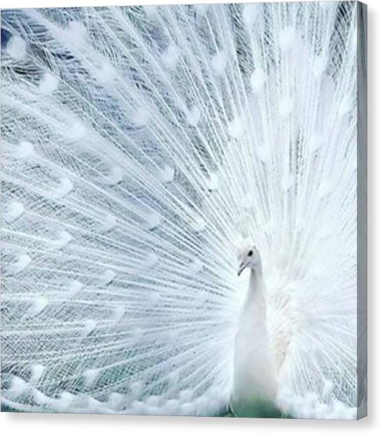 Peacocks Canvas Print - #white #peacock #albino #savethebeauty by The Ivy Mike