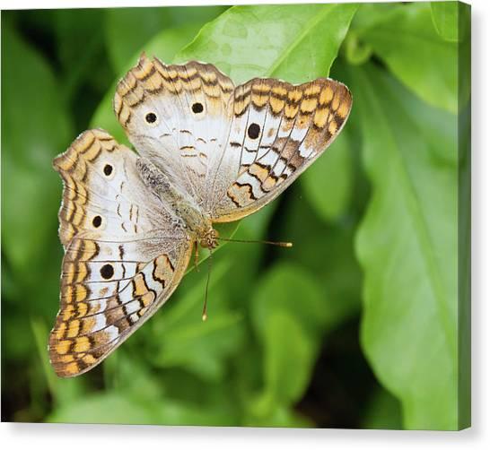 Anartia Jatrophae Canvas Print - White Peacock Butterfly by Dawn Currie