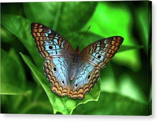 Anartia Jatrophae Canvas Print - White Peacock Butterfly by Don Columbus