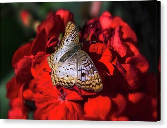 Anartia Jatrophae Canvas Print - White Peacock Butterfly On Red Flowers  by Saija Lehtonen