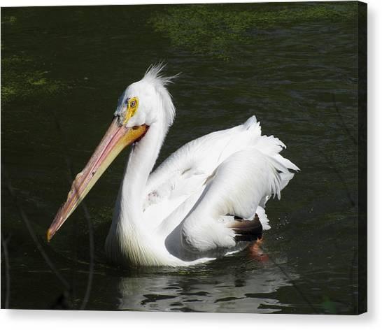 White Pelican Canvas Print by George Jones