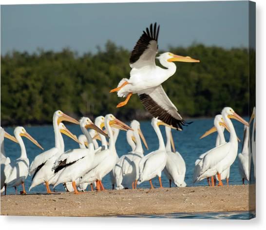 White Pelican In Flight Canvas Print by Diane Luke