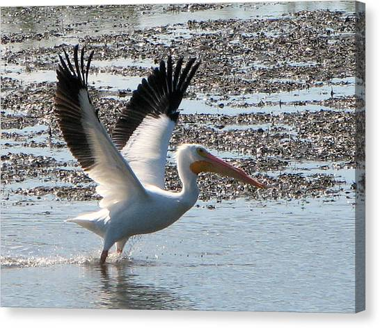 White Pelican Takes Wing Canvas Print
