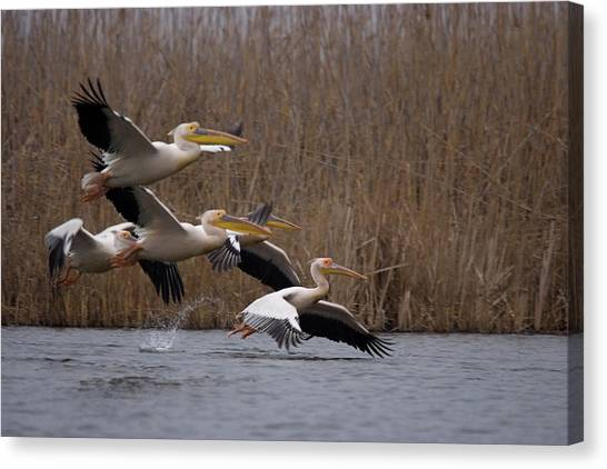 White Pelicans In Flight Over Lake Canvas Print
