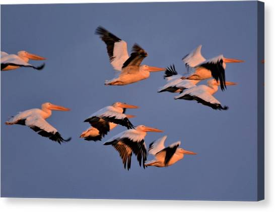 John Adams Canvas Print - White Pelicans by John Adams