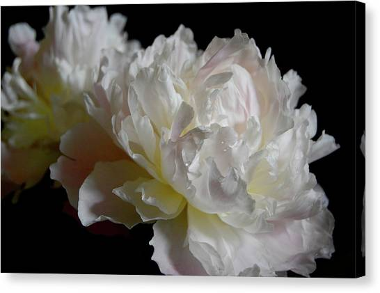 White Peonies Canvas Print by David Rothmiller
